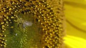 Pszczoła pracuje na słoneczniku w zwolnionym tempie zbiory