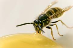 Pszczoła przekąsza miód Obrazy Stock