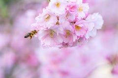 Pszczoła przy Kwiatonośnym Czereśniowym drzewem Zdjęcie Royalty Free