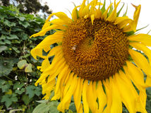 Pszczoła przy pollens słonecznik zdjęcie royalty free