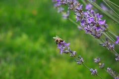 Pszczoła przy pracą Obraz Royalty Free
