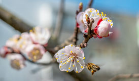 Pszczoła przy pracą Obrazy Stock