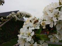 Pszczoła przy pracą Obrazy Royalty Free