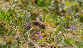 Pszczoła przy pracą Fotografia Royalty Free