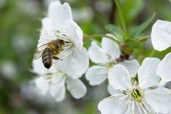 Pszczoła przy pracą Zdjęcie Royalty Free