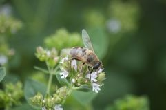 Pszczoła przy pracą na kwiacie na słonecznego dnia lecie Zdjęcia Stock