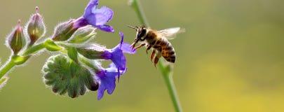 Pszczoła przy pracą na purpurach kwitnie na słonecznym dniu Obraz Royalty Free