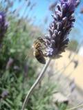 Pszczoła obraz stock