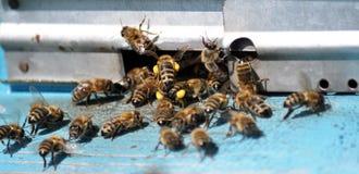 Pszczoła rój przy tap-hole_2 obrazy royalty free