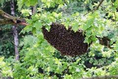 Pszczoła rój w dzikiej naturze fotografia royalty free
