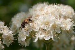 pszczoła rozgałęzia się kwiecenie Obrazy Stock