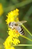pszczoła ruchliwie kwiat Obrazy Royalty Free