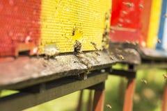 Pszczoła sączył nektar i wracał ul Pszczoły co obrazy stock