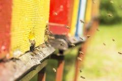 Pszczoła sączył nektar i wracał ul Pszczoły co fotografia royalty free