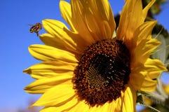 pszczoła słonecznik Obraz Stock
