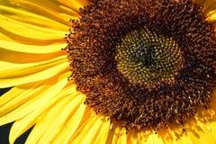 Pszczoła Słonecznikowi Makro- 03 Zdjęcia Royalty Free