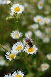 Pszczoła siedzi na białym kwiacie z żółtym centrum Obraz Stock