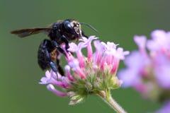 pszczoła stolarz. Obrazy Royalty Free