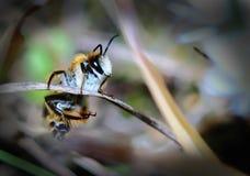 pszczoła trochę Zdjęcia Stock