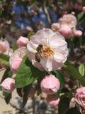 pszczoła trochę fotografia royalty free