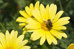 Pszczoła v4 i żółta roślina Fotografia Royalty Free