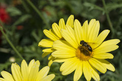 Pszczoła v2 i żółta roślina Zdjęcie Royalty Free