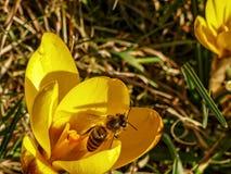 Pszczoła w żółtym kwiacie Fotografia Stock