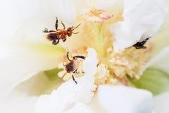 Pszczoła w białym kwiacie Zdjęcie Royalty Free