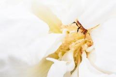 Pszczoła w białym kwiacie Obrazy Stock