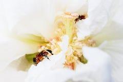 Pszczoła w białym kwiacie Fotografia Royalty Free