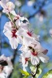 Pszczoła w białym migdale Fotografia Royalty Free