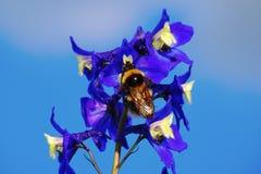 Pszczoła w górę błękitnego kwiatu przeciw błękitnemu bezchmurnemu niebu dalej fotografia stock