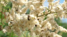 Pszczoła w górę zbiera nektar i zapyla kwiaty na gałąź Insekty zbierają nektar od kwitnących żółtych kwiatów zbiory wideo