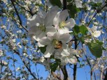 Pszczoła w jabłoni niebieskim niebie i okwitnięciu Obrazy Royalty Free