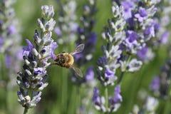 Pszczoła w ogródzie obrazy royalty free