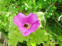 Pszczoła w różowi różanego zbliżenie fotografia royalty free