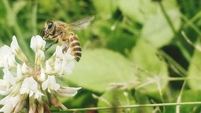 Pszczoła w wiosna sezonie necturing fotografia royalty free