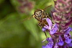 Pszczoła wtyka out jego jęzor Obrazy Stock