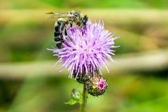 pszczoła wyszczególniający miód odizolowywający macro brogował bardzo biel fotografia stock