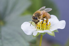 pszczoła wyszczególniający miód odizolowywający macro brogował bardzo biel Obrazy Royalty Free
