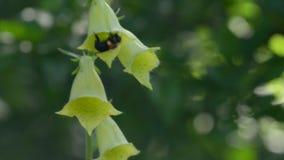pszczoła wyszczególniający miód odizolowywający macro brogował bardzo biel zdjęcie wideo