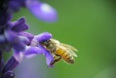 pszczoła wyszczególniający miód odizolowywający macro brogował bardzo biel Zdjęcie Royalty Free