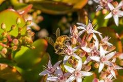 pszczoła wyszczególniający miód odizolowywający macro brogował bardzo biel Zdjęcia Stock