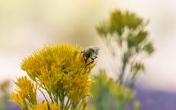 pszczoła wyszczególniający miód odizolowywający macro brogował bardzo biel obraz stock