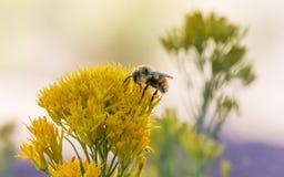 pszczoła wyszczególniający miód odizolowywający macro brogował bardzo biel obrazy stock