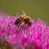 pszczoła wyszczególniający miód odizolowywający macro brogował bardzo biel fotografia royalty free