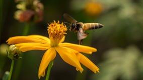 Pszczoła z kwiatami obraz stock