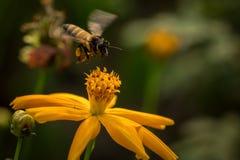 Pszczoła z kwiatami obrazy royalty free
