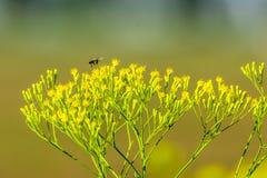 pszczoła zajęty Zdjęcia Stock