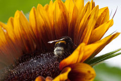 pszczoła zajęty Obrazy Stock
